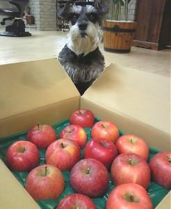 2011 12 1 3 246x300 お客さんからりんごをもらった