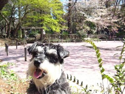 2011 4 12 3s 井の頭公園にお花見