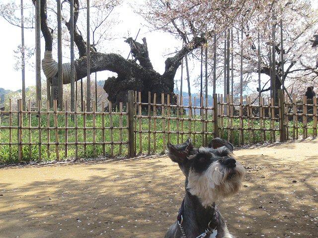 2016 4 19 1 樹齢2000年の桜…