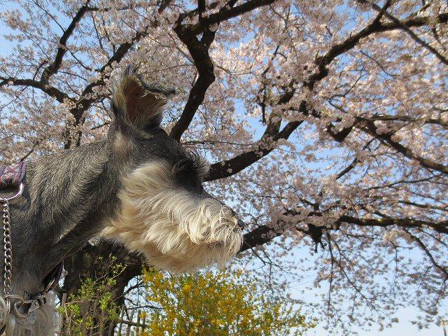 2016 4 19 2 樹齢2000年の桜…