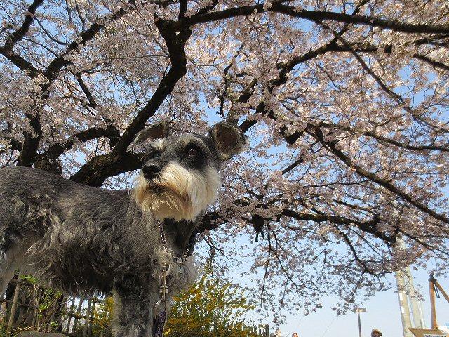 2016 4 19 3 樹齢2000年の桜…