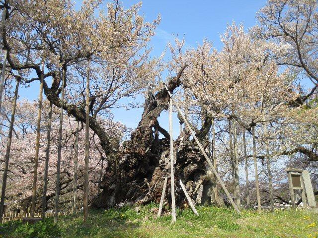 2016 4 19 4 樹齢2000年の桜…