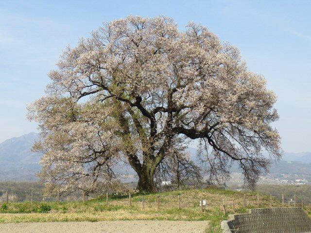 2016 4 19 5 樹齢2000年の桜…